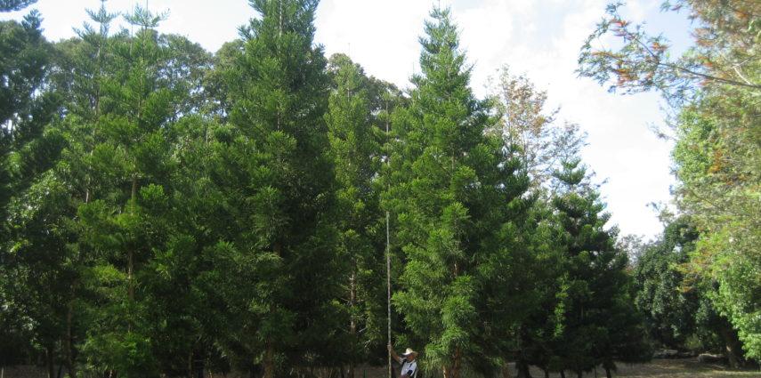 Araucaria cunninghamiana
